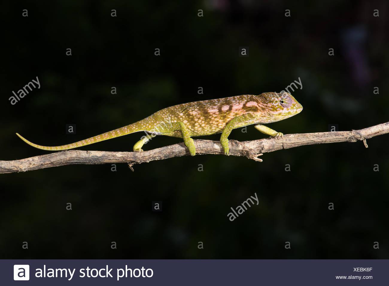 Jewel chameleon (Furcifer lateralis), female, Ankaramibe, Boeny, Madagascar - Stock Image
