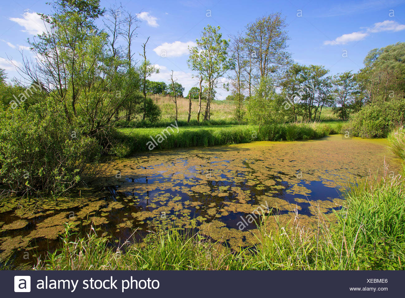 pond in summer, Germany, Schleswig-Holstein - Stock Image