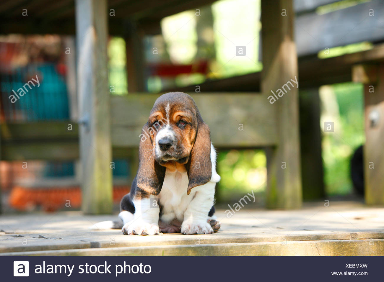 Basset Hound (Canis lupus f. familiaris), puppy sitting on a terrace, Germany - Stock Image