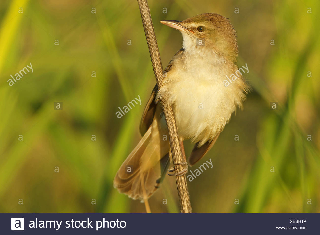 great reed warbler (Acrocephalus arundinaceus), sitting at a sprout, Turkey, Sanliurfa, Birecik Gravel Pits Stock Photo