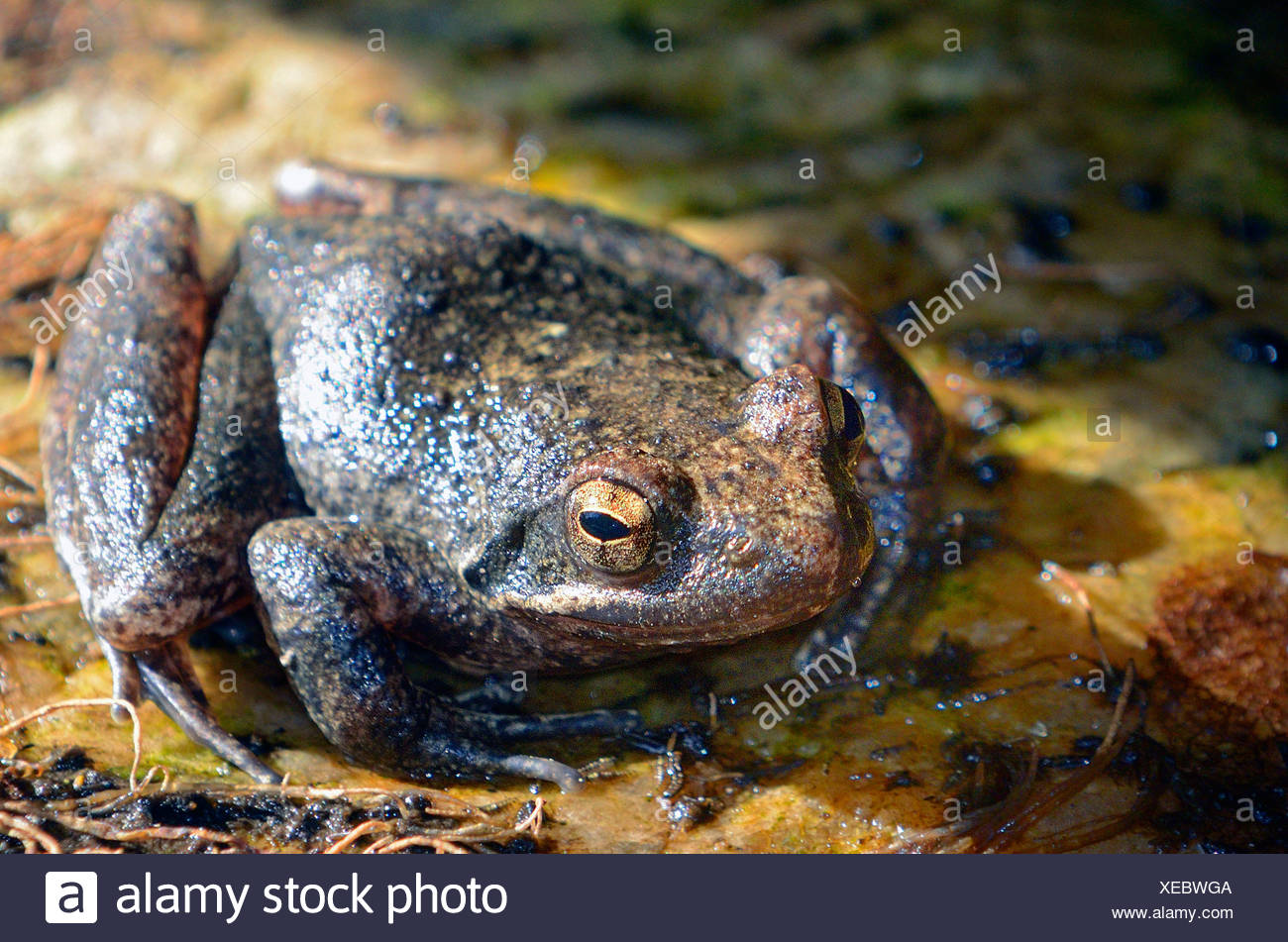 Italian stream frog (Rana italica), Italien stream frog sitting at a mountain creek at Aspromonte National Park, Italy, Calabrien, Ben Aspromonte National Park - Stock Image