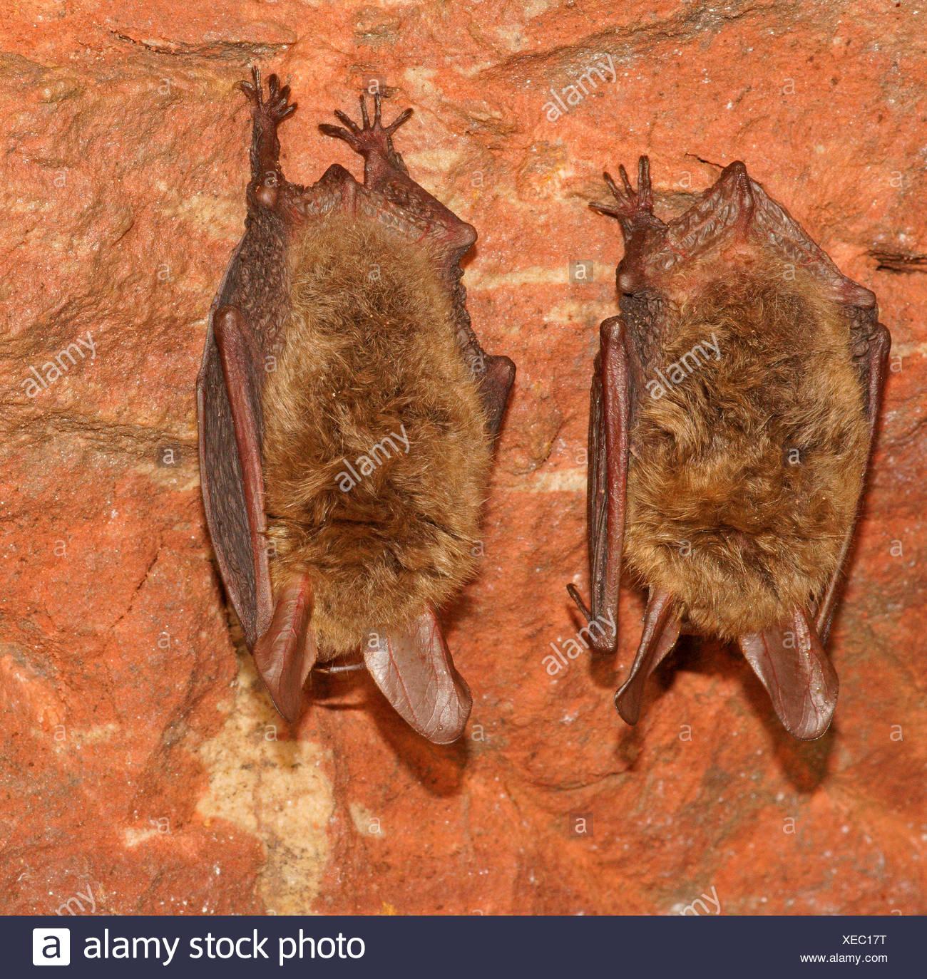 Bechstein's Bats (Myotis bechsteinii) in hibernation, Bad Hersfeld, Hesse, Germany - Stock Image