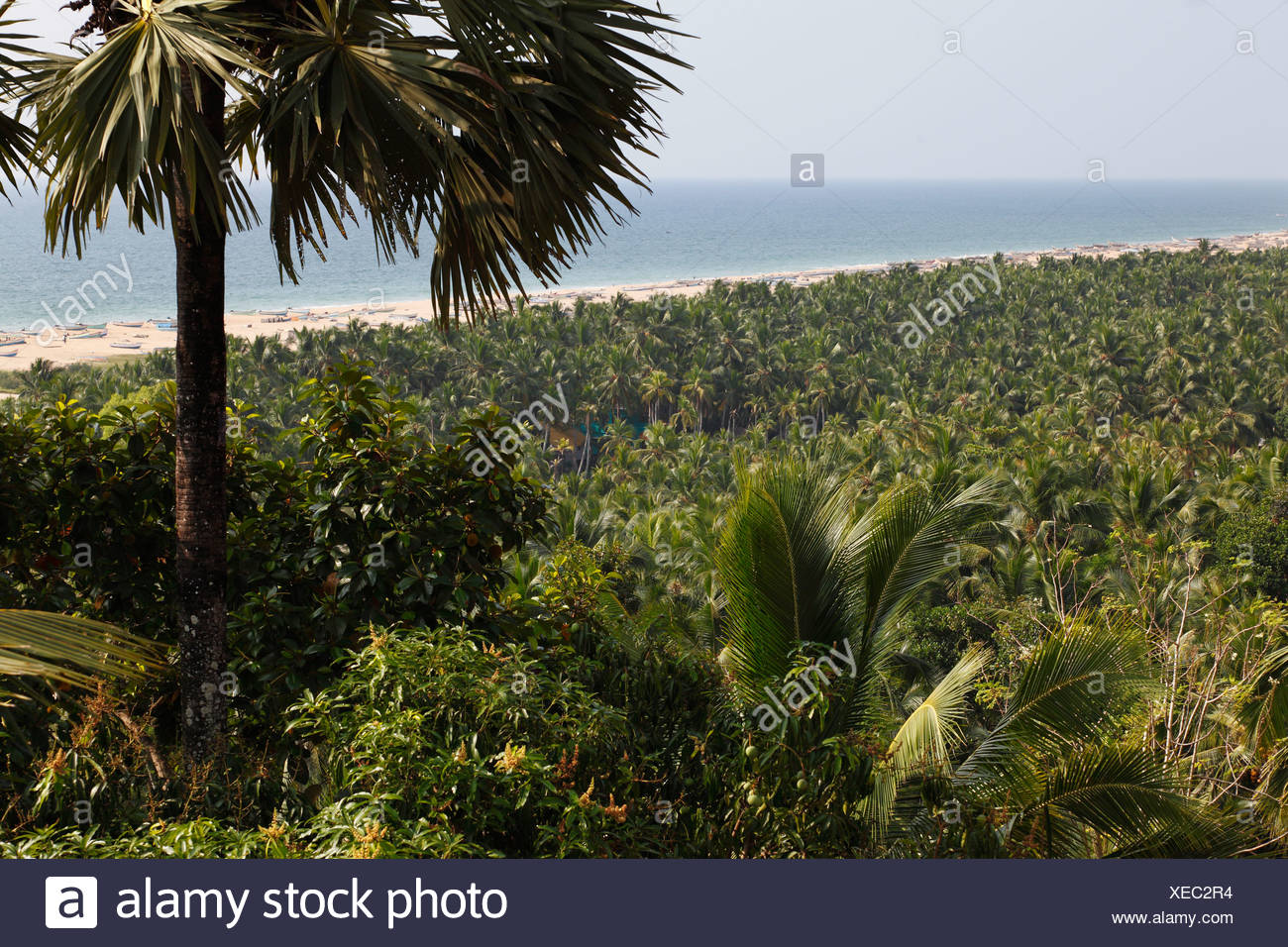 Forest of coconut palms at Somatheeram Beach, Malabarian Coast, south of Kovalam, Malabar, Kerala state, India, Asia - Stock Image