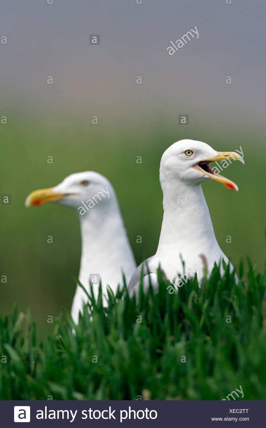 Herring gull – pair of herring gulls (Larus argentatus) Stock Photo