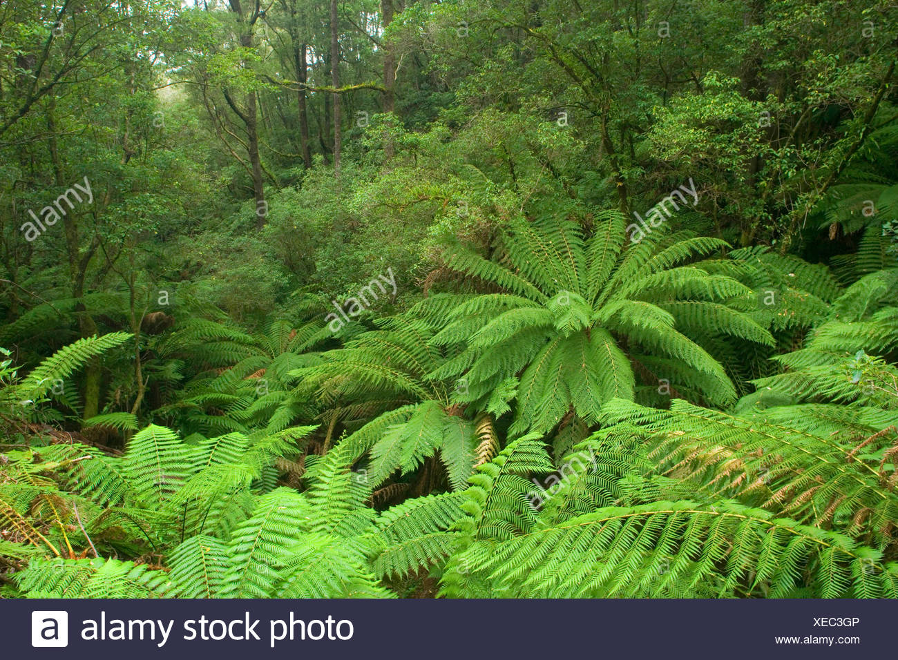 temperate rainforest - a gully with lots and lots of treefern in a lush temperate rainforest , Australia, Victoria, Great Ocean Road, Melba Gully State Park - Stock Image