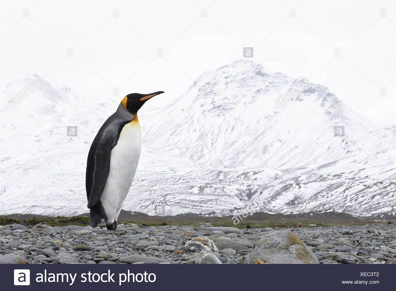 Lone King penguins (Aptenodytes patagonicus) on a beach; South Georgia, South Georgia, South Georgia and the South Sandwich Islands, United Kingdom - Stock Image
