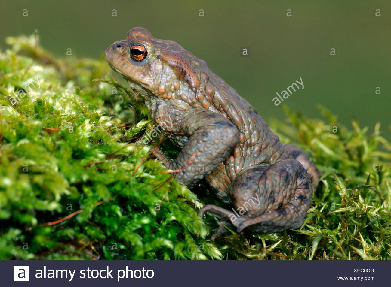 European common toad - male (Bufo bufo) Stock Photo