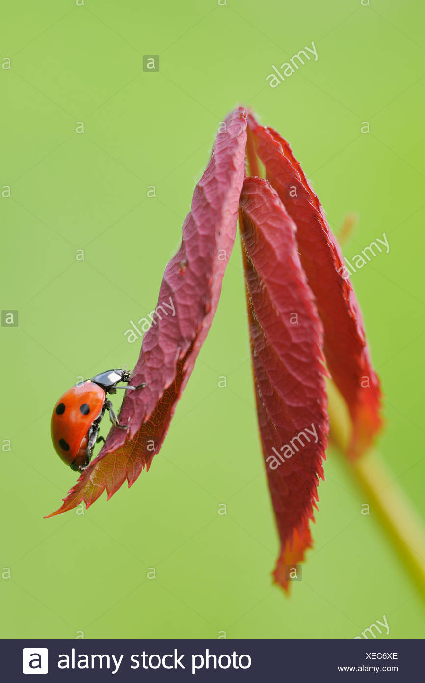 Germany, Bavaria, Franconia, Seven spot lady bird perching on leaf, close up - Stock Image