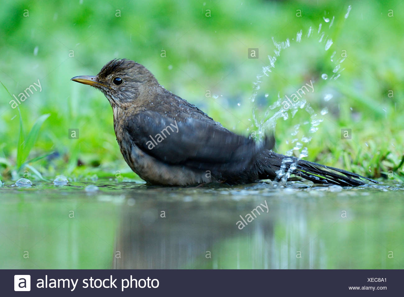 Young Blackbird (Turdus merula) bathing in a puddle - Stock Image