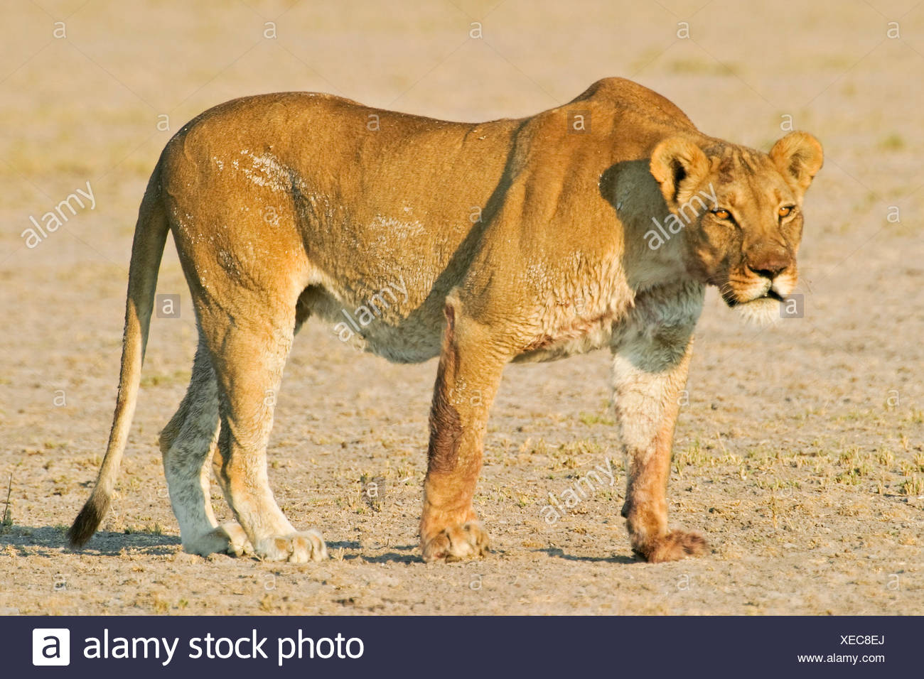 Lioness (Panthera leo) looks for prey, Nxai Pan, Makgadikgadi Pans National Park, Botswana, Africa Stock Photo