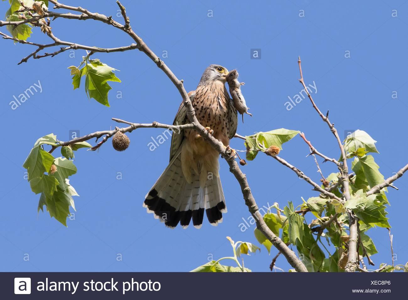 Common Kestrel (Falco tinnunculus) with captured Vole (Microtus arvalis), Hesse, Germany - Stock Image