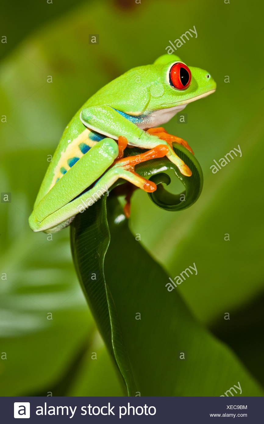 Red-eyed Treefrog (Agalychnis callidryas) on leaf, captive, from South America - Stock Image