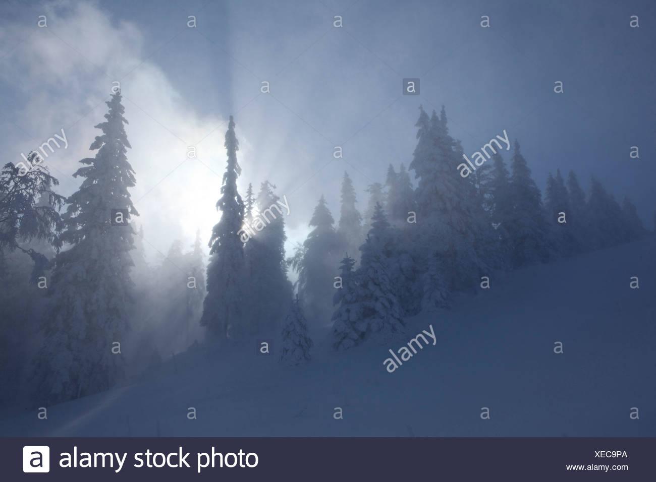 Winter trees, winter, canton, VD, Vaud, snow, tree, trees, wood, forest, snow, firs, Switzerland, Europe, sun, Col du Mollendruz - Stock Image
