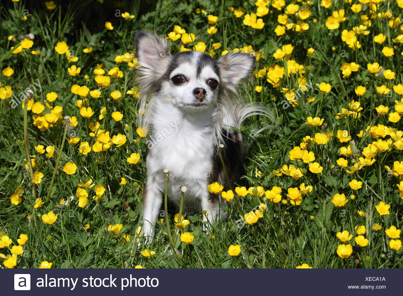 Chihuahua on the meadow, crowfoot - Stock Image
