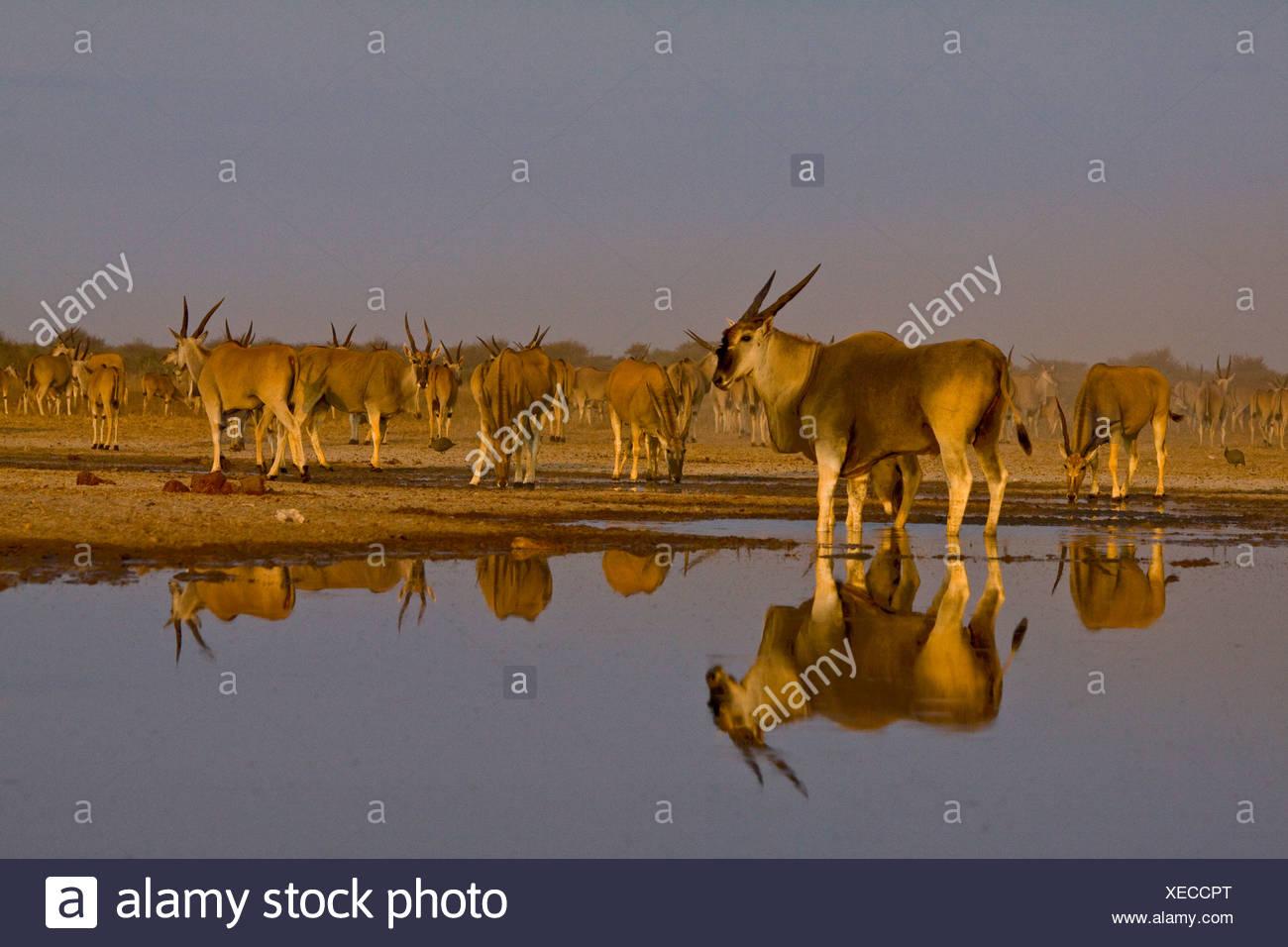 Eland bull at waterhole, Etosha National Park, Namibia. - Stock Image