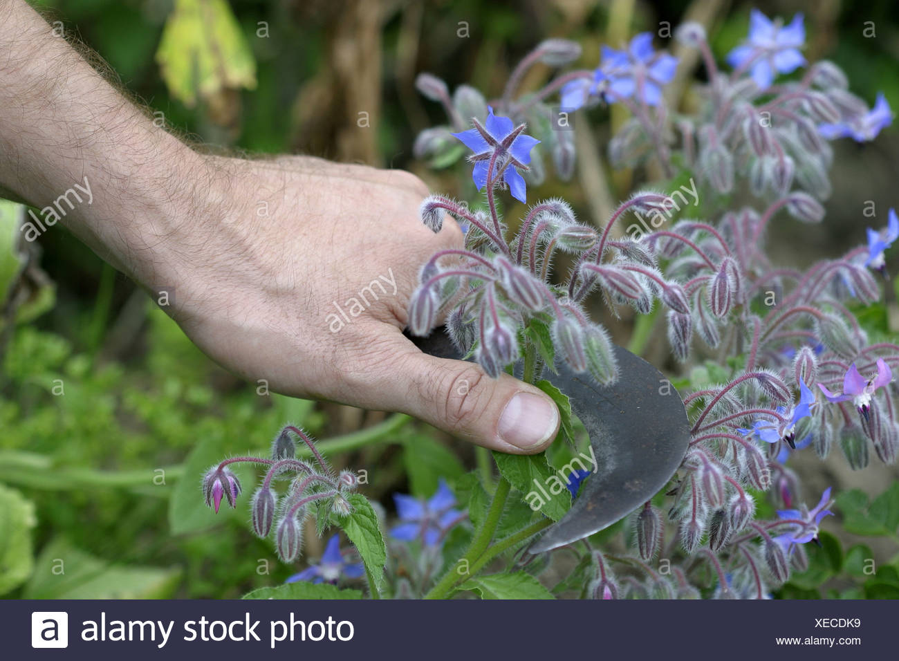 Harvest of borage blooms (Borago officinalis) with a billhook in an ecological country garden Stock Photo