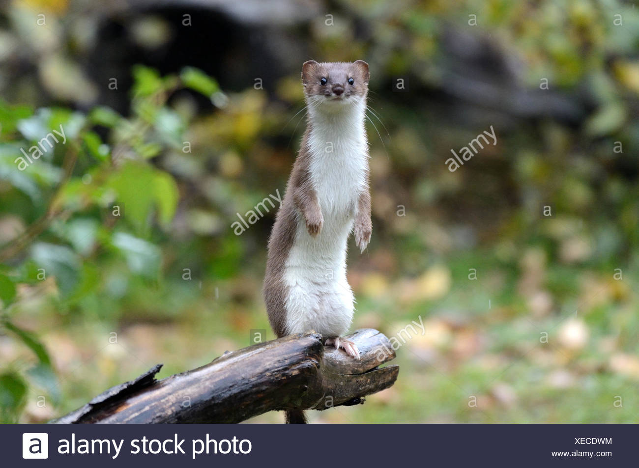 Ermine, animal, autumn, big weasel, short tail weasel, Mustela erminea, predator, canids, martens, mustelidae, Endemical, wild an - Stock Image
