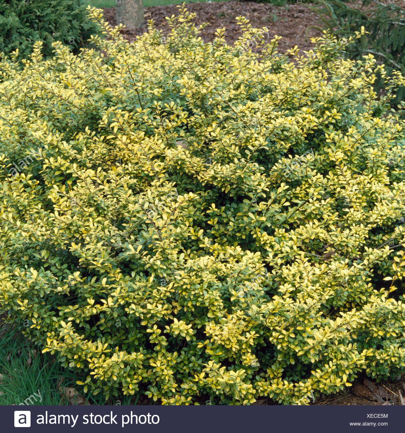 Ilex Crenata Golden Gem Agm Female Trs014214 Stock Photo