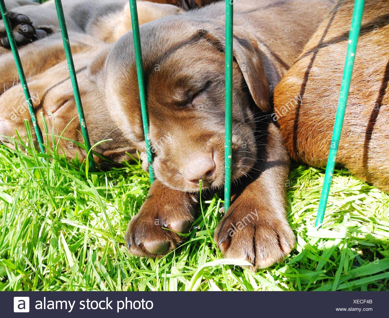 Puppies Sleeping In Backyard - Stock Image