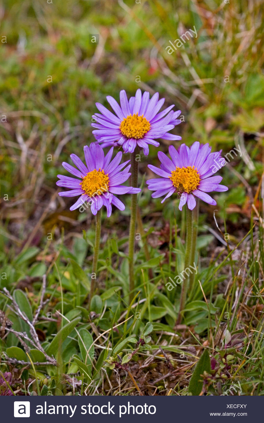 boreal aster, alpine aster (Aster alpinus), blooming, Germany - Stock Image