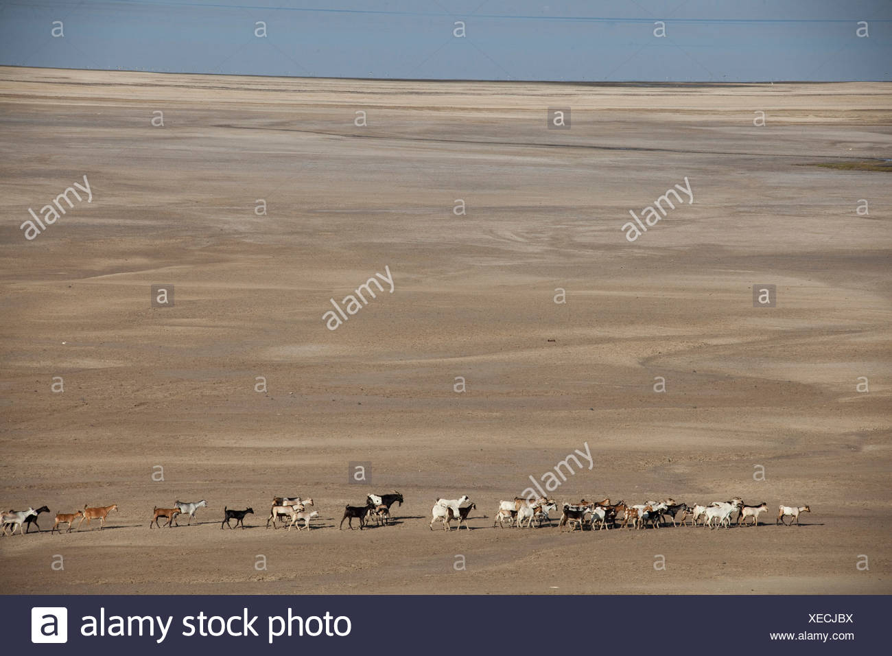 herd of goats, goats, nanny goats, Abbesee, Djibouti, Africa, scenery, landscape, nature, lake, lakes, agriculture, desert - Stock Image