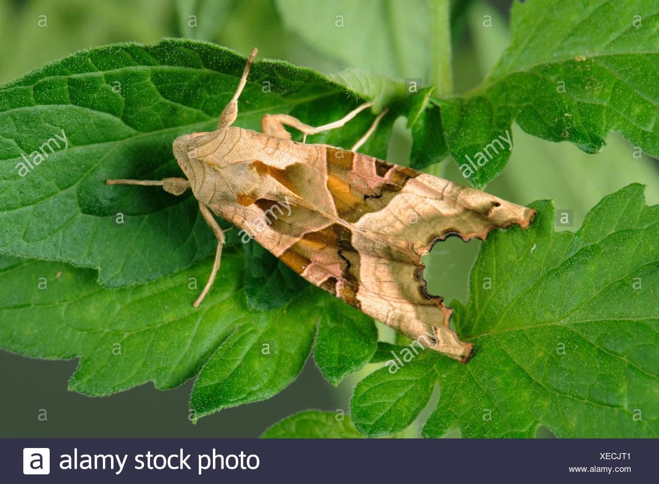 Angle Shades Phlogophora meticulosa moth on tomato leaves - Stock Image