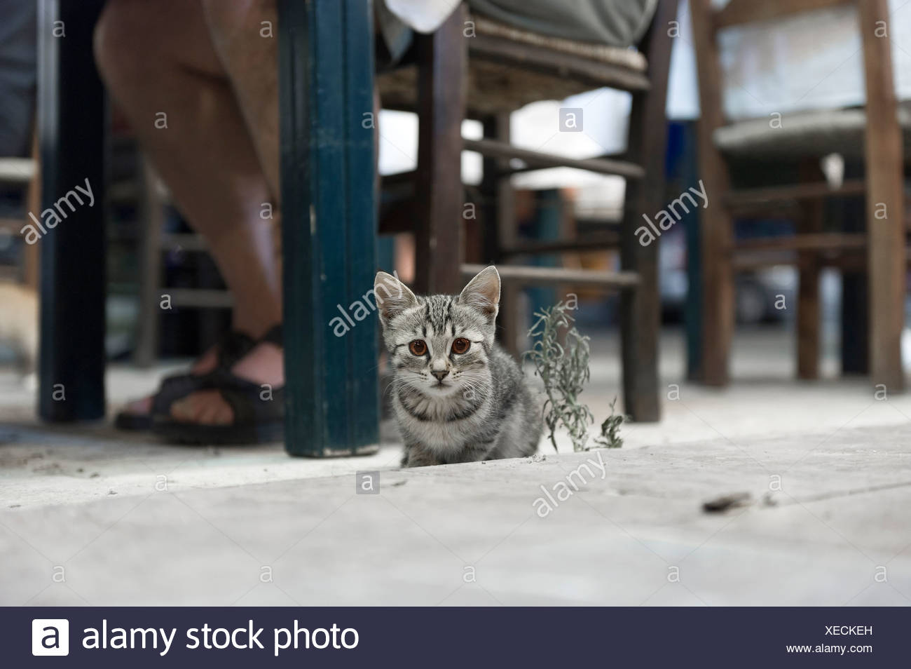 Close-up portrait of a cat by human legs at the restaurant chair - Stock Image