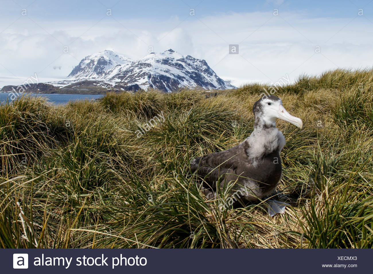 Wandering Albatross (Diomedea exulans) perched on tussock grass on South Georgia Island. - Stock Image