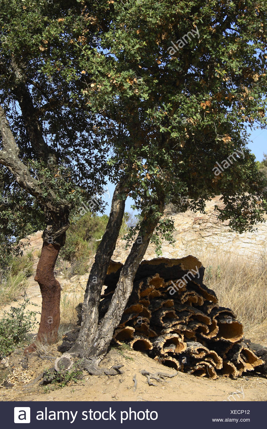 Cork extraction. Palafolls, El Maresme, Barcelona province, Catalonia, Spain - Stock Image