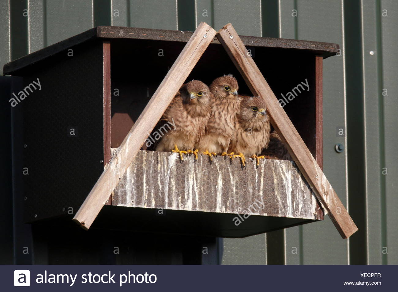 Three juvenile Kestrels (Falco tinnunculus) waiting for their parents to bring food - Stock Image