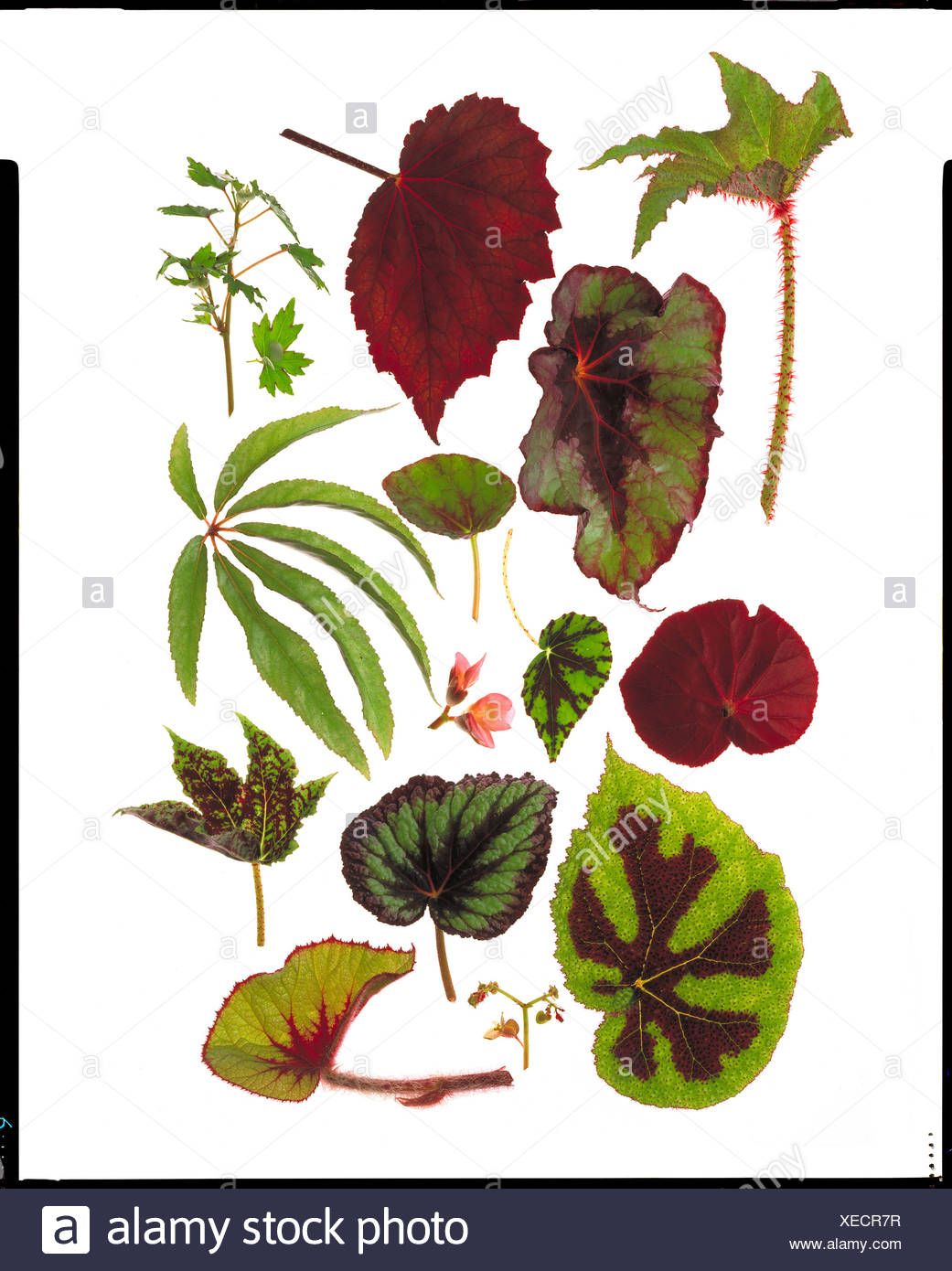 Varieties of Begonia leaves on white background - Stock Image