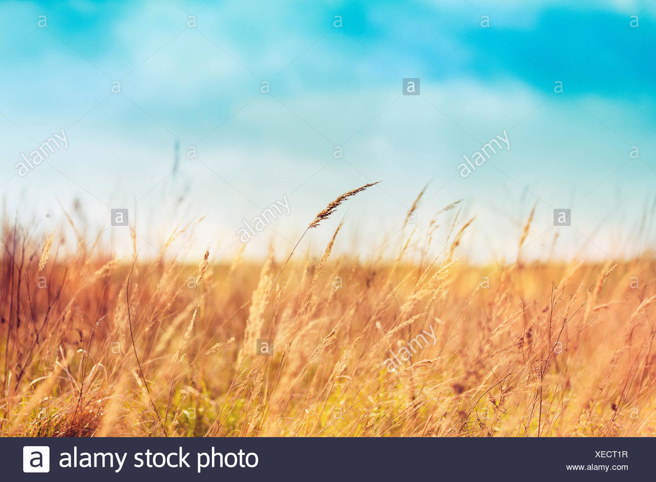 Beautiful field and blue skies - Stock Image