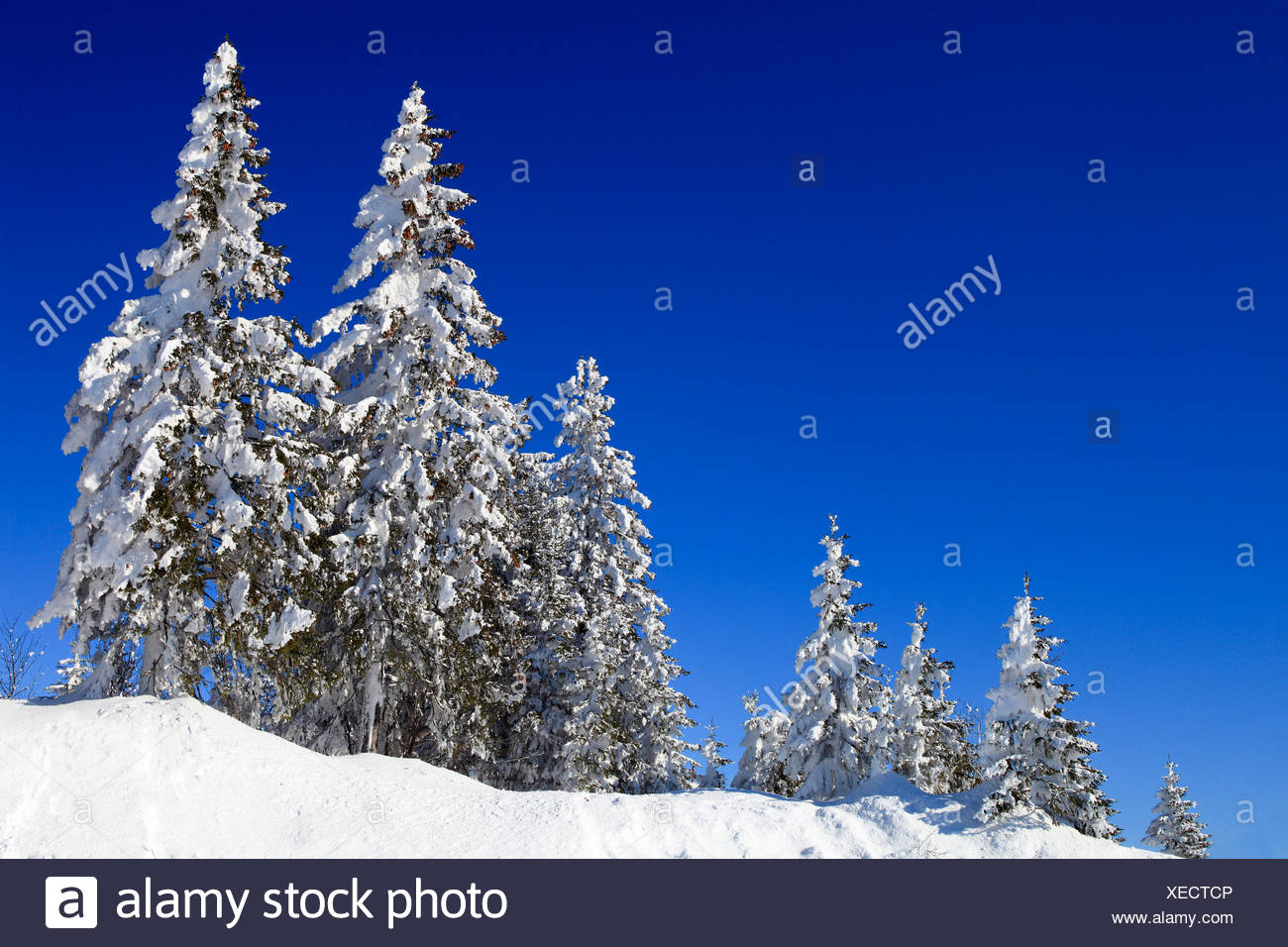 Norway spruce (Picea abies), snow-covered spruces in the foothills of the Alps, Switzerland, Gurnigel - Stock Image