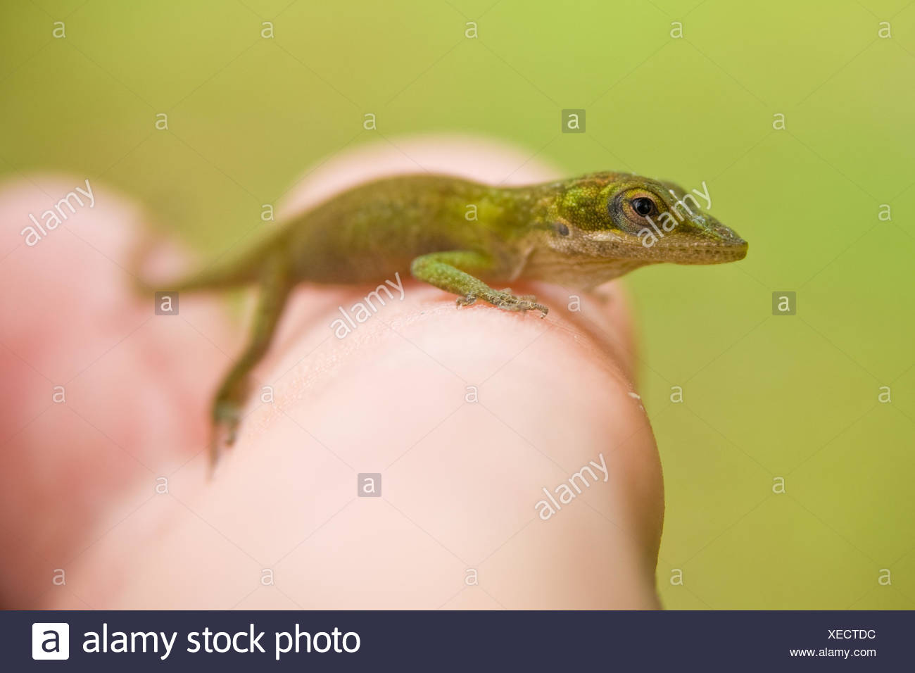 Northern Mariana Islands, Rota Municipality, Rota, Baby Gecko on hand - Stock Image