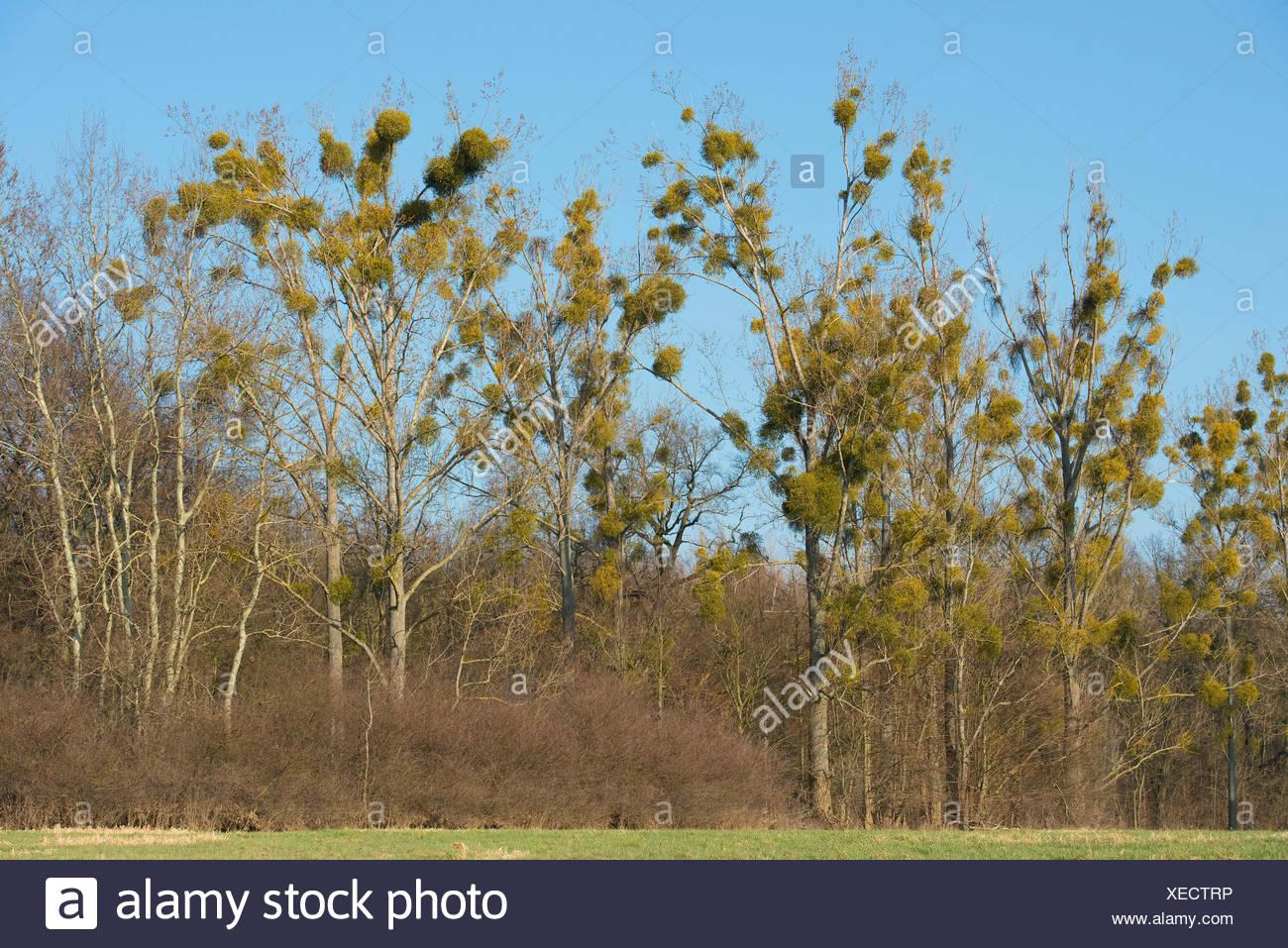 Mistletoe (Viscum album) on Poplar trees (Populus spec.), Saxony-Anhalt, Germany - Stock Image