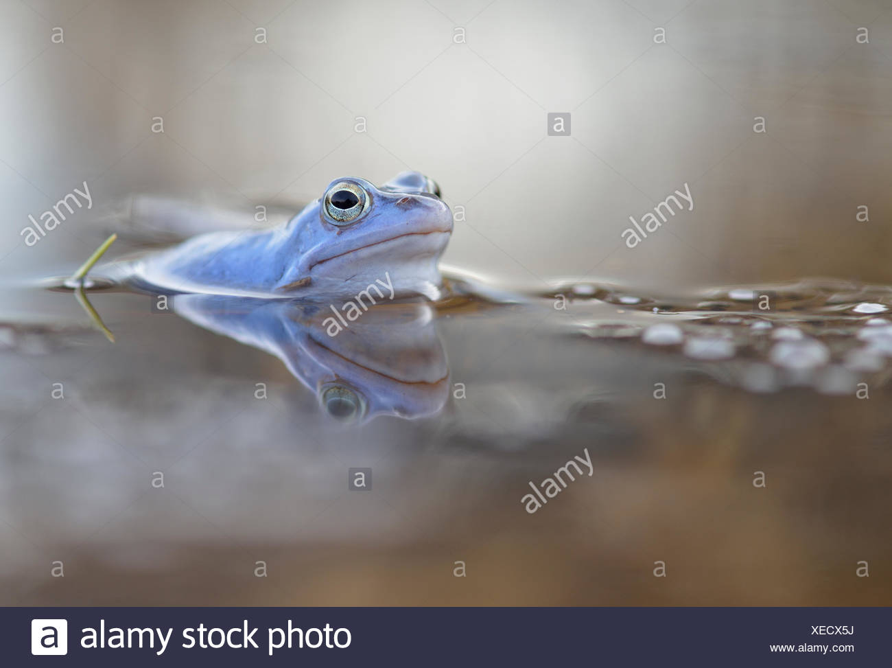 Moor frog (Rana arvalis), blue coloured male with spawn, during mating season, in spawning waters, Elbe, Saxony-Anhalt, Germany - Stock Image