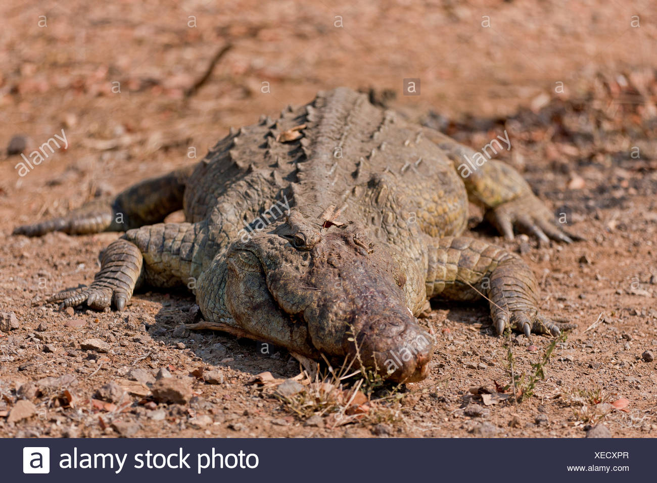 Nile crocodile (Crocodylus niloticus) at a waterhole, Kruger National Park, South Africa - Stock Image