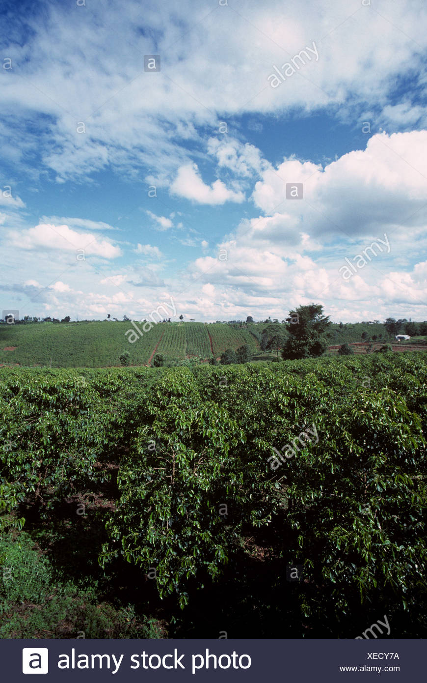 Coffee plantations without shade trees near Nairobi Kenya - Stock Image