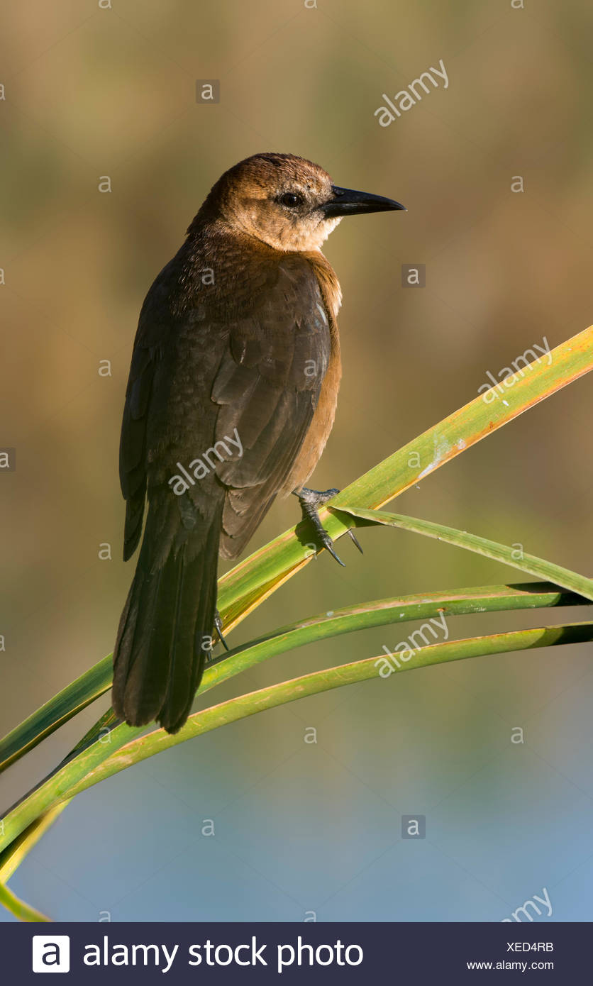 Boat Tailed Grackle Quiscalus Major Stock Photos & Boat Tailed ...