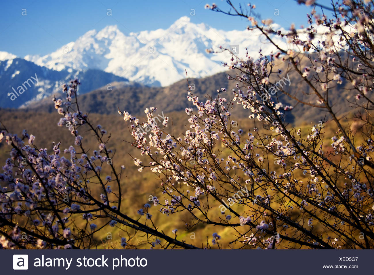 Blooming wild apricot tree - Stock Image