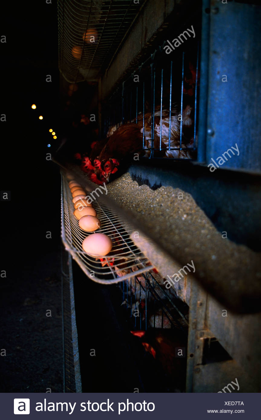 Agriculture, Poultry, Battery Hens - Stock Image