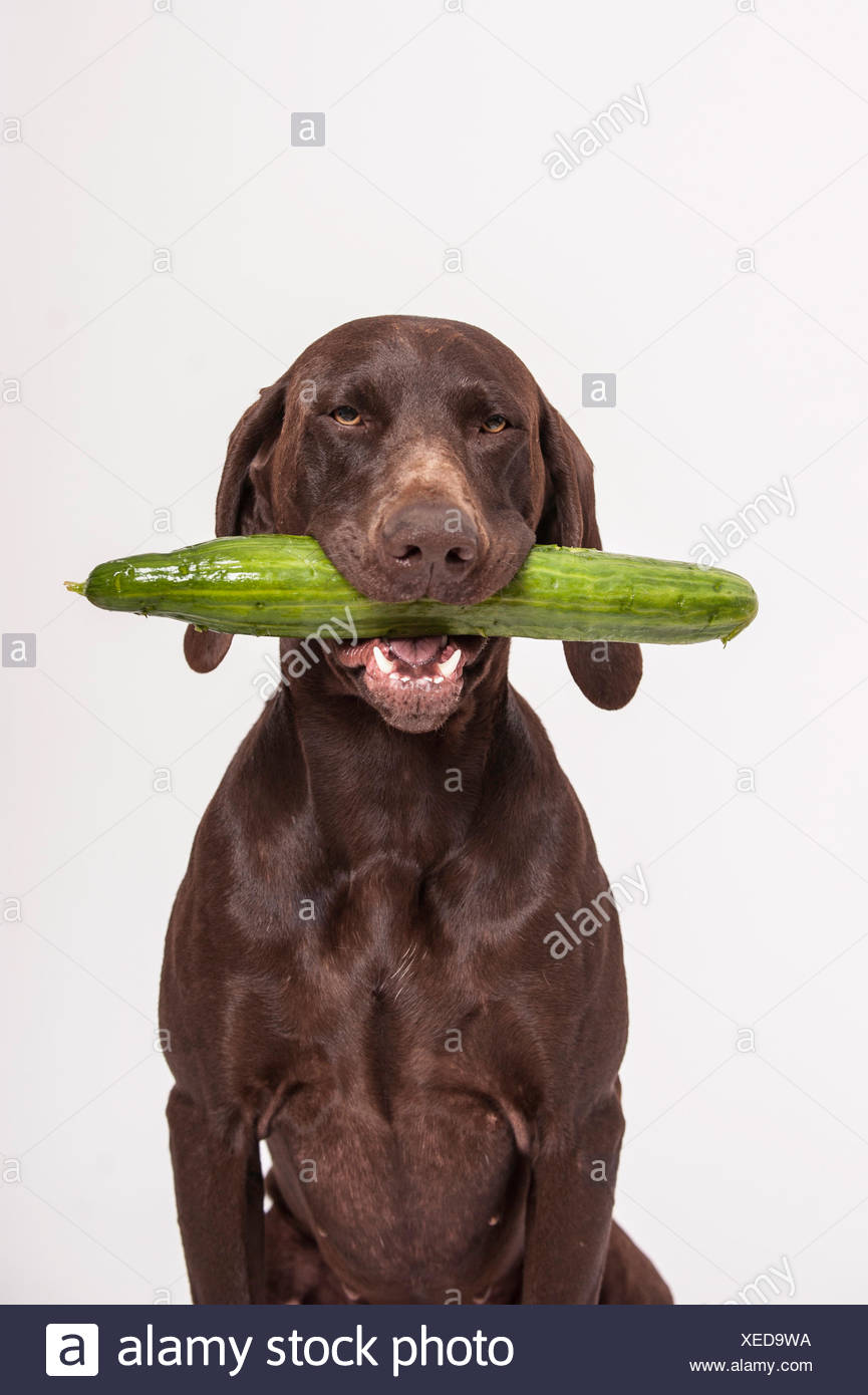 German Shorthaired Pointer retrieving a cucumber - Stock Image