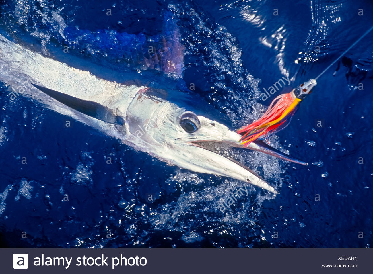 Short-billed Spearfish Hooked with Hawaiian Jet Head Trolling Lure - Stock Image