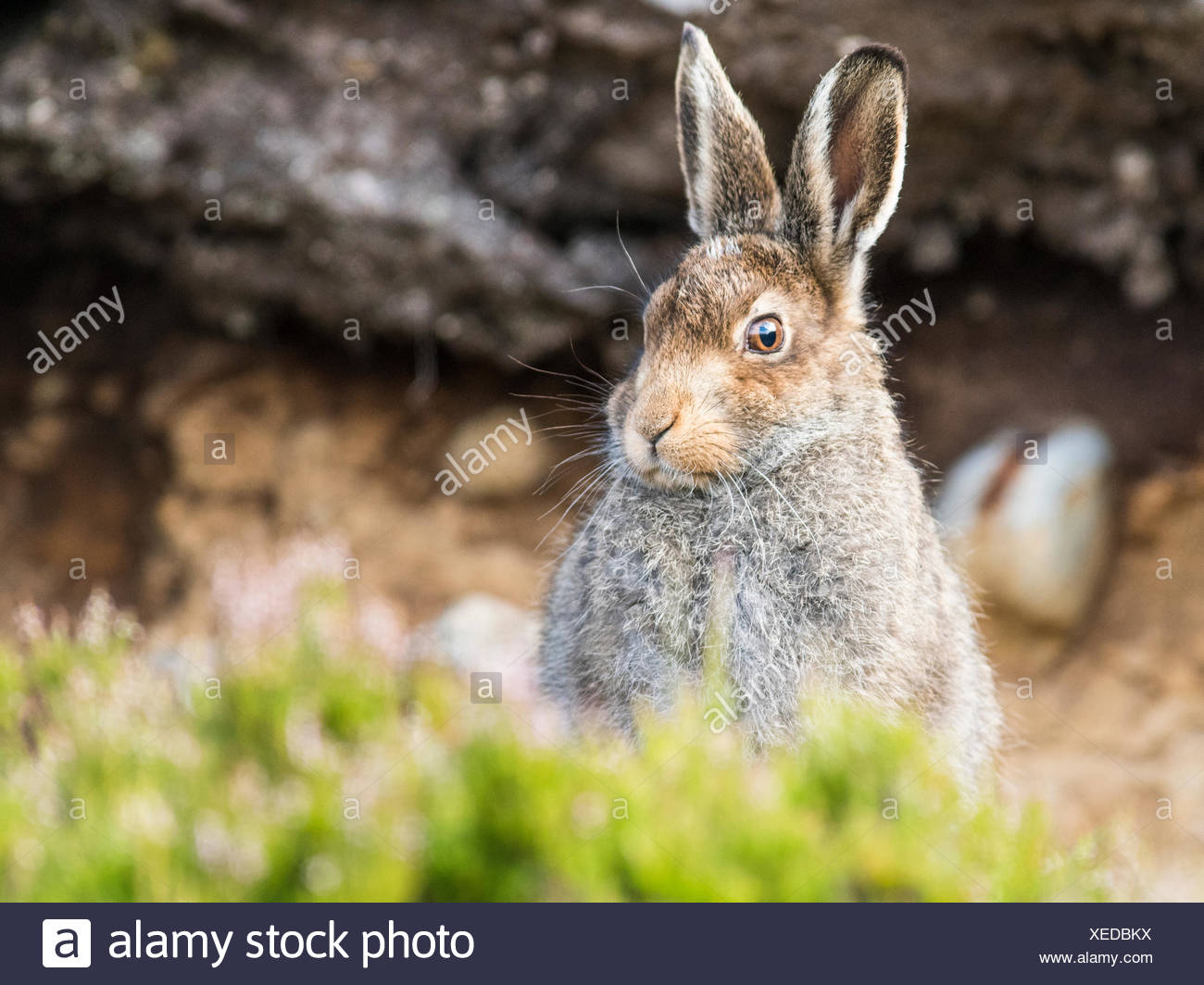 Mountain hare (Lepus timidus) sits in habitat, summer coat, Cairngroms National Park, Highlands, Scotland, Great Britain - Stock Image