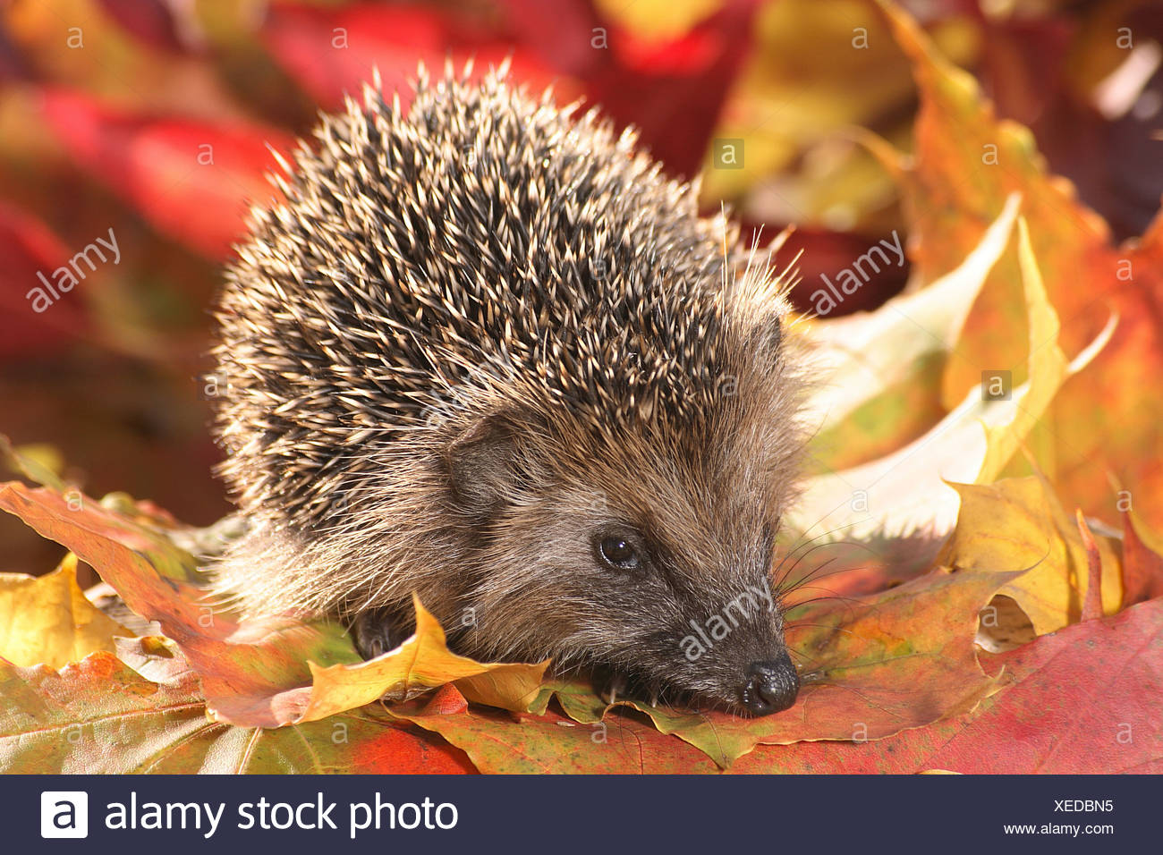 European Hedgehog (Erinaceus europaeus) in autumn leaves Stock Photo