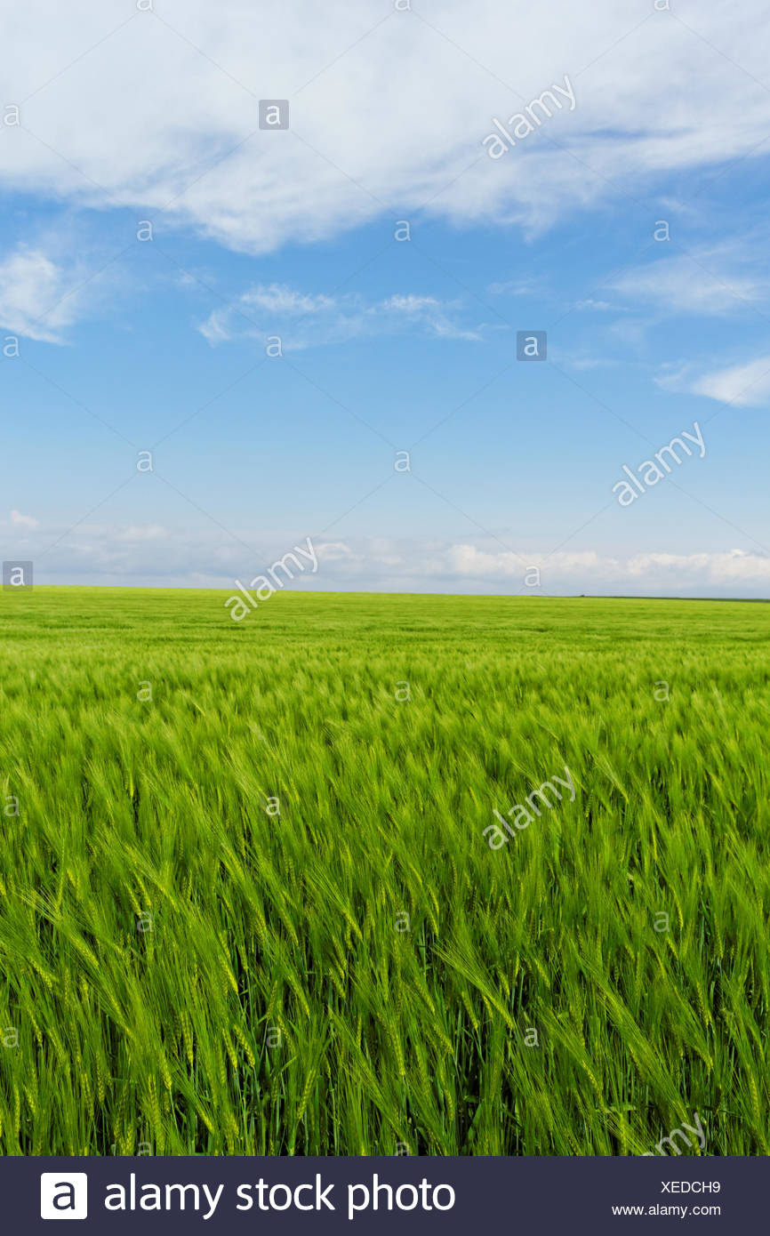 wheat field under the blue cloudy sky Stock Photo