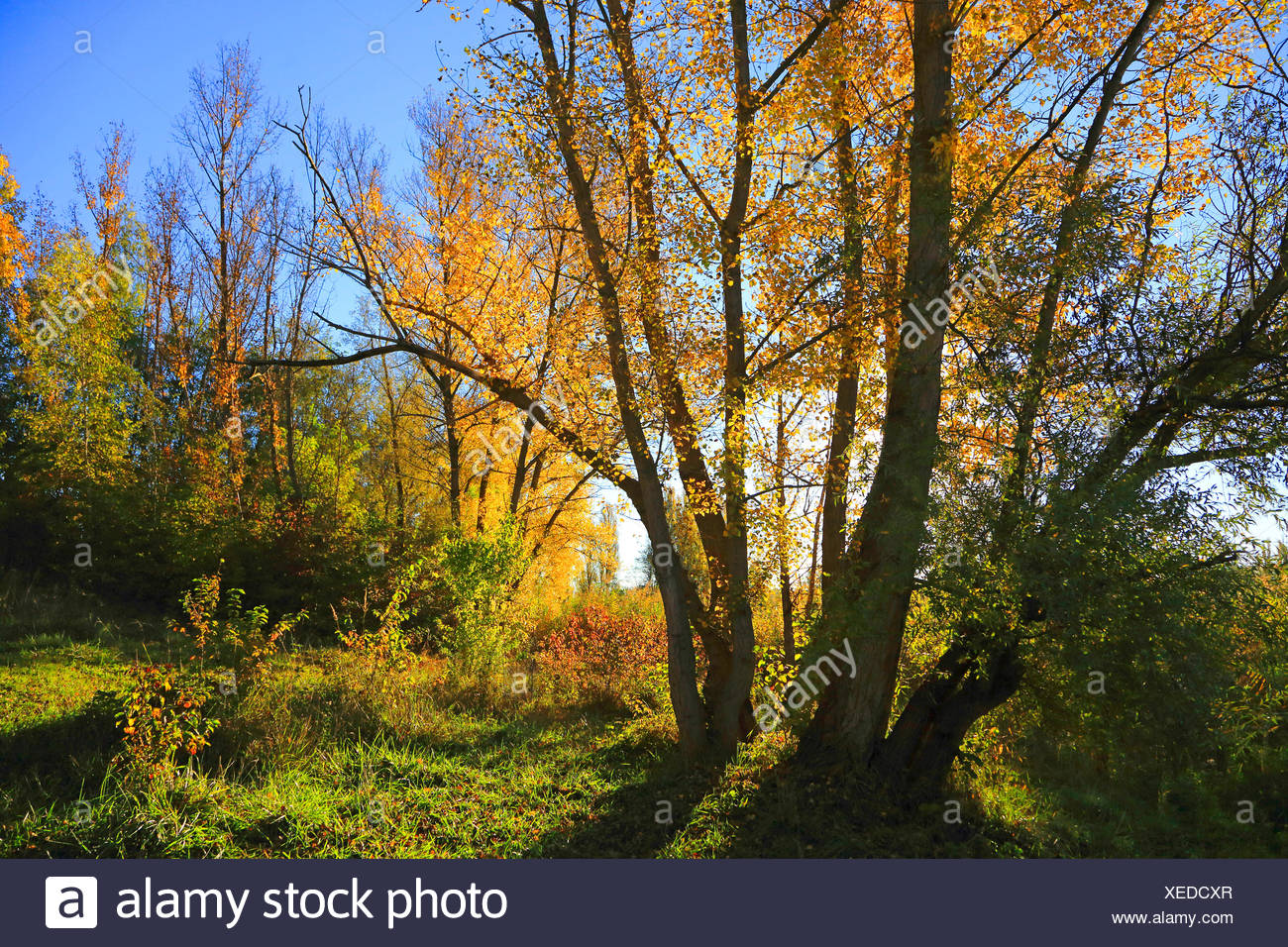 floodplain forest in autumn, Germany - Stock Image