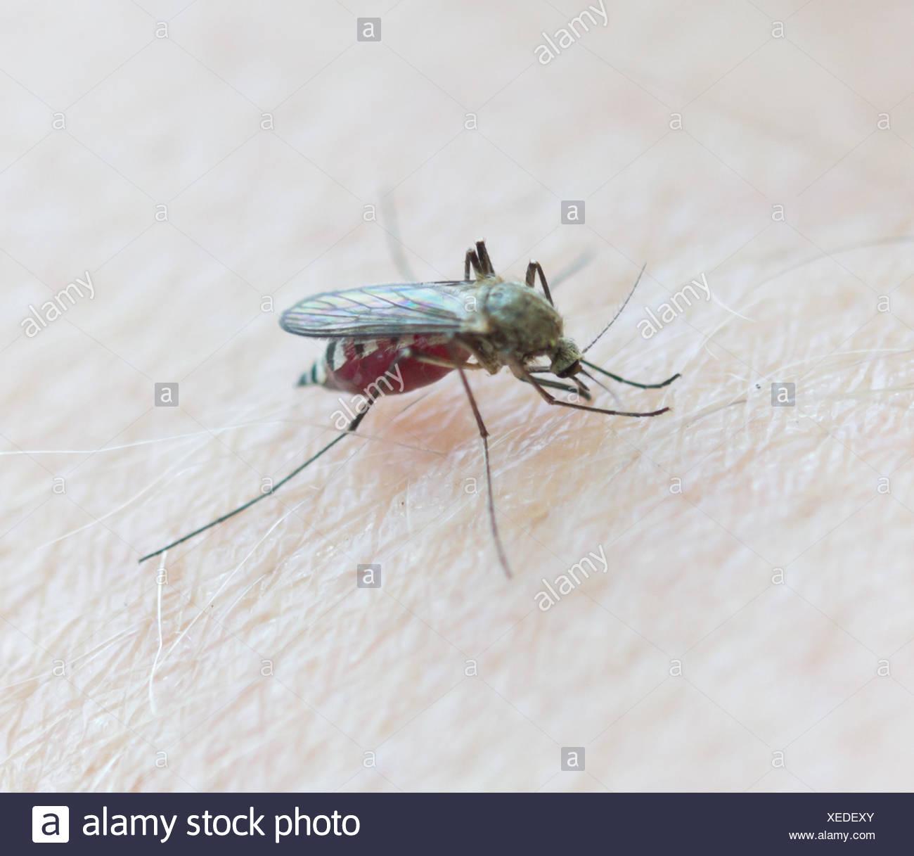 mosquito sucking blood - Stock Image