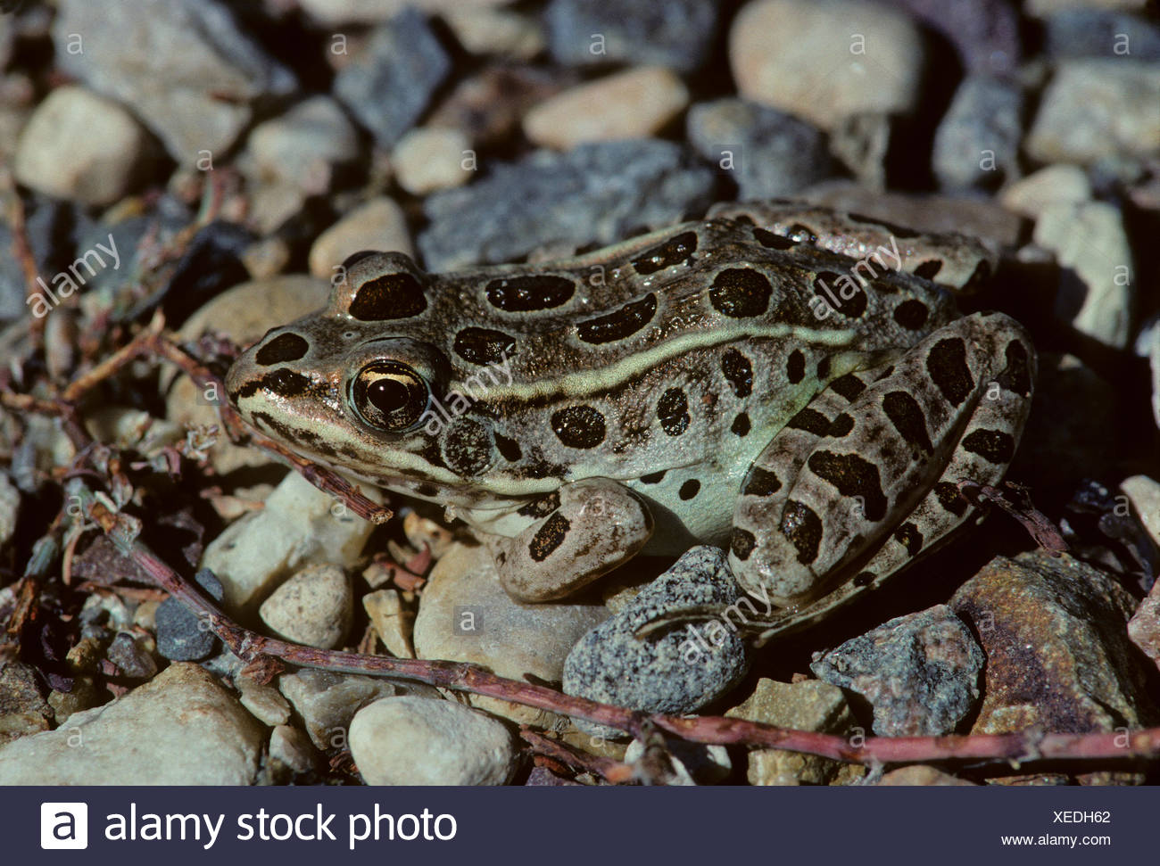 Northern leopard frog eating - photo#35