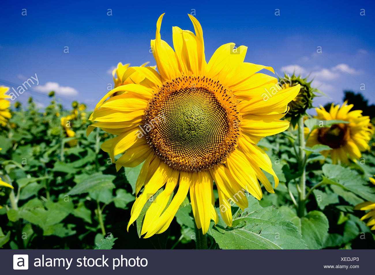 Sunflowers in the sunlight - Stock Image
